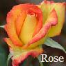 Rose Pottermore
